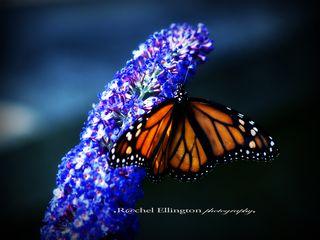 Monarch perfection copy