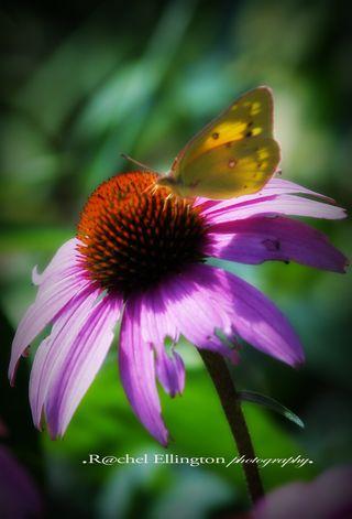 Cornflower & Butterfly copy